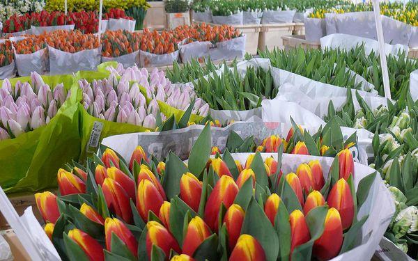 444Kč za 50 holandských tulipánů po Praze doručení zdarma se 69% slevou