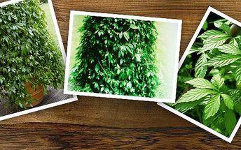 Ženšen pětilistý (sazenice) - také nazýván bylinou nesmrtelnosti! Utužte své zdraví zakoupením a pěstováním této byliny. Má velký rozsah pozitivních účinků na lidský organismus. Zakupte více kusů a ušetříte na poštovném!