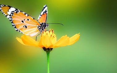 Hodina terapie MOTÝLÍ TECHNIKOU s 51% slevou. Jedná se o jemnou, ale nesmírně účinnou terapii, která uvádí energii těla do rovnováhy. Motýlí technika Vám může pomoci ve všech oblastech života.