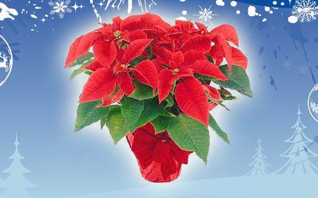 Vánoční hvězda poinsettia vícekvětá s dekorativním červeným keramickým květináčem! 45 cm vysoká živá rostlina. Symbol Vánoc!