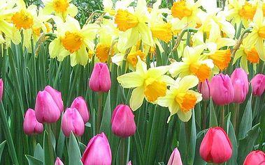 Darujte krásnou kytici - 10ti tulipánů a 10ti narcisů k Mezinárodnímu dni žen!