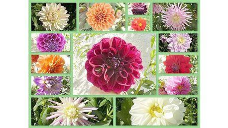 Ozdobte své zahrádky , zahrady a zádveří pestrou škálou barev v podobě Jiřin ! 7 hlíz krásných JIŘIN za bezva jarní cenu!