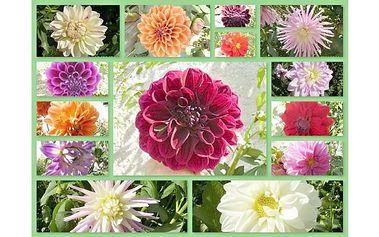 Ozdobte své zahrádky , zahrady, chaty a zádveří pestrou škálou barev v podobě Jiřin ! 7 hlíz krásných JIŘIN za bezva jarní cenu!
