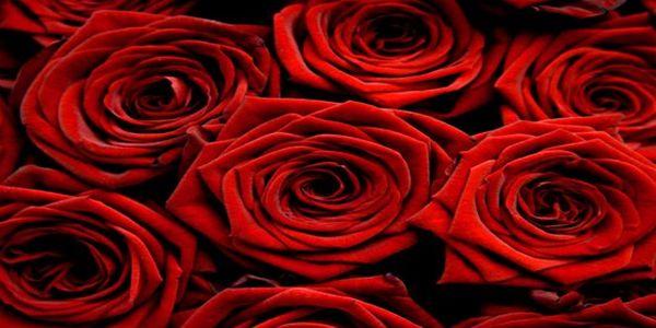 3x čerstvé holandské růže 70 cm! Obdarujte svou drahou polovičku!