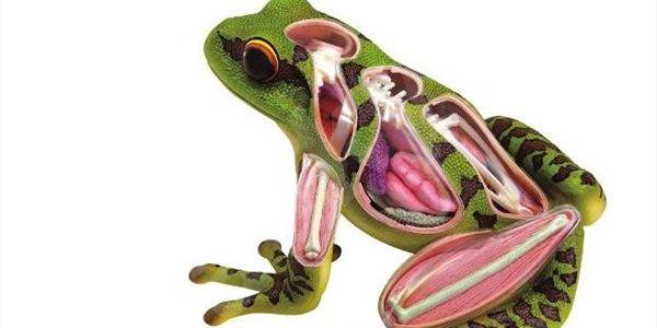 Mac Toys anatomický model Žáby. Poučná zábava pro malé vědce.