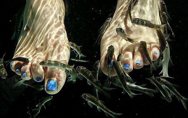 99 Kč za rybu DOKTOR Garra-Rufa - pedikúra o délce 30 minut. Nechte své si své nožky hýčkat od rybiček Garra Rufa.