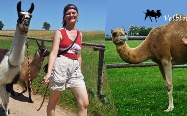 Exotická procházka s velbloudy a lamami