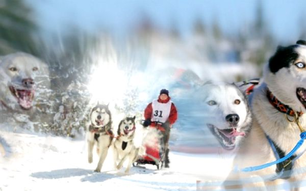 90 min. mushing - jízda na saních nebo čtyřkolovém vozíku taženém 8 a více psy pod vedením zkušeného mushera. Akční cena 1 449 Kč! Prohánějte se na psím spřežení jako pravý polárník! Jízda až pro 6 osob!