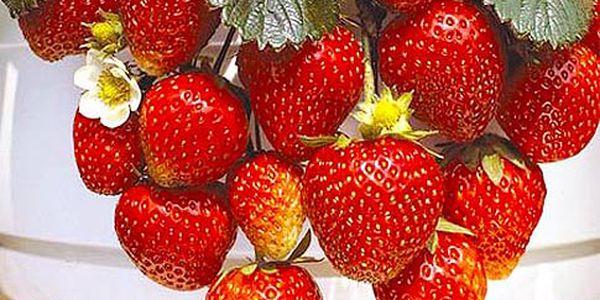 Převislé hrnkové jahody