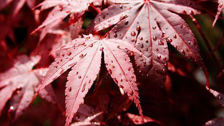 Solitérní purpurový javor Acer Palmatum se slevou 50 %