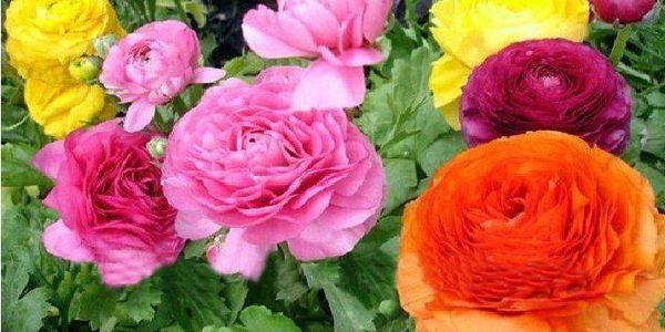 Semínka - perská růže a poštovné ZDARMA! - 222