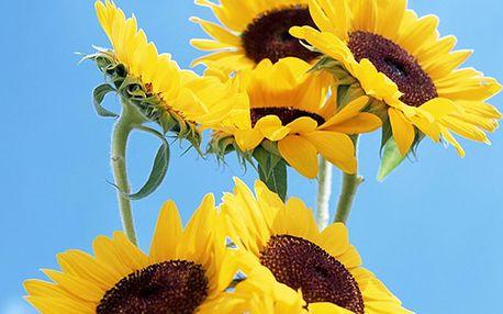 Slunečnice - balení semínek 50 ks a poštovné ZDARMA! - 226