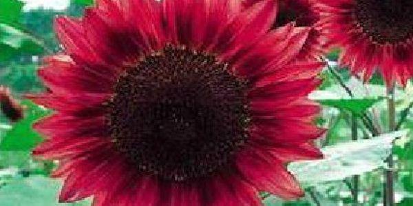Rudá slunečnice - balení 30 semínek a poštovné ZDARMA! - 237