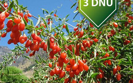 40 semínek kustovnice - goji a poštovné ZDARMA s dodáním do 3 dnů! - 34906304