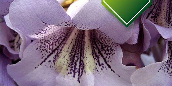 100 semínek paulownia tomentosa - okrasná dřevina a poštovné ZDARMA s dodáním do 3 dnů! - 34706354
