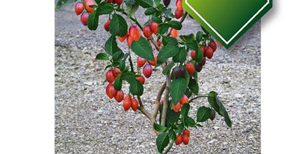 5 semínek rostliny - Strom rajče a poštovné ZDARMA s dodáním do 3 dnů! - 36006703