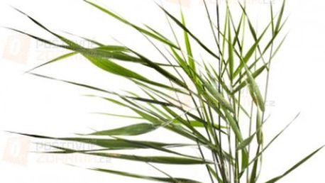 Skřípina - 3 semínka a poštovné ZDARMA s dodáním do 3 dnů! - 14107391