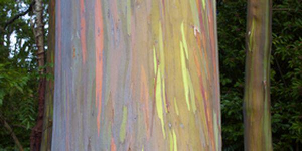 2 semínka blahovičníku oloupaného - Duhový strom a poštovné ZDARMA s dodáním do 3 dnů! - 6306705