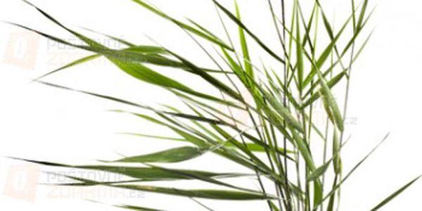 Skřípina - 3 semínka a poštovné ZDARMA s dodáním do 3 dnů! - 15307391