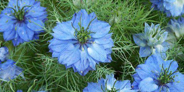 Černucha damašská barevná - 20 semínek a poštovné ZDARMA s dodáním do 3 dnů! - 3007395