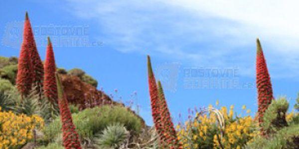 Echium pininana - rostlina tisíce květů, balení 6 semínek a poštovné ZDARMA s dodáním do 3 dnů! - 12808041