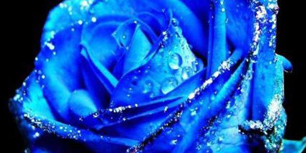 Modrá růže - 50 semínek a poštovné ZDARMA! - 9108293