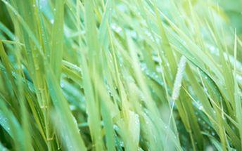 Palmarosa - okrasná tráva s vůní růže a poštovné ZDARMA s dodáním do 3 dnů! - 7908518