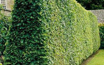 40 sazenic habru včetně hnojiva od 629 Kč! Skvělý živý plot!