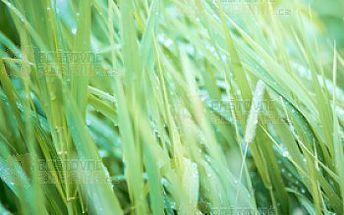 Palmarosa - okrasná tráva s vůní růže a poštovné ZDARMA s dodáním do 3 dnů! - 13808518
