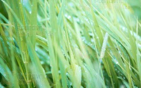 Palmarosa - okrasná tráva s vůní růže a poštovné ZDARMA s dodáním do 3 dnů! - 10108518