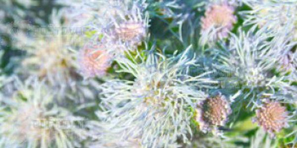 Nestařec mexický bílý - balení 100 semen a poštovné ZDARMA s dodáním do 3 dnů! - 14609031