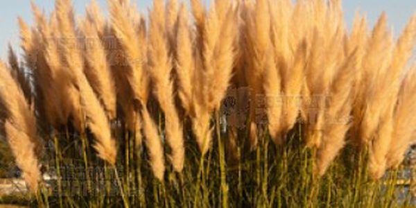 100 semínek pampové trávy a poštovné ZDARMA s dodáním do 3 dnů! - 11106551