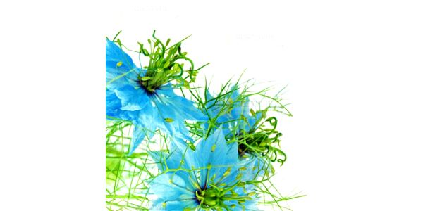Černucha damašská barevná - 20 semínek a poštovné ZDARMA s dodáním do 3 dnů! - 10307395