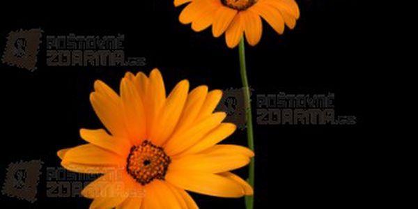 Dvoutvárka chobotnatá - balení 100 semen a poštovné ZDARMA s dodáním do 3 dnů! - 12809032