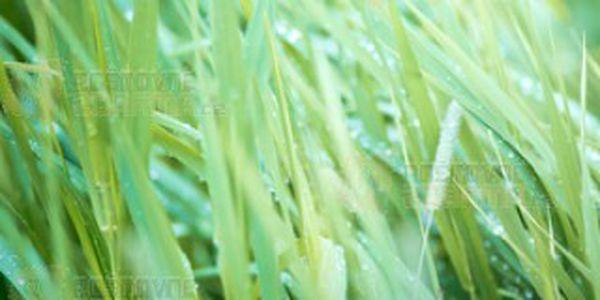 Palmarosa - okrasná tráva s vůní růže a poštovné ZDARMA s dodáním do 3 dnů! - 9708518