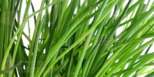 20 semínek česnekové pažitky a poštovné ZDARMA s dodáním do 3 dnů! - 14806311