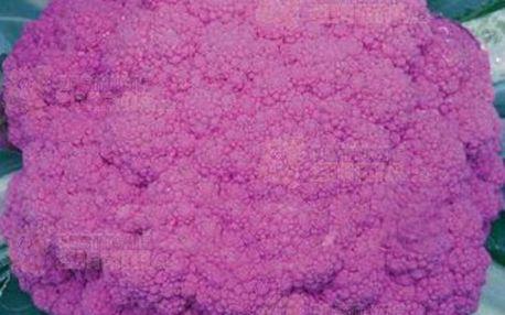 Fialový květák - sada 20 semínek a poštovné ZDARMA s dodáním do 3 dnů! - 15608716