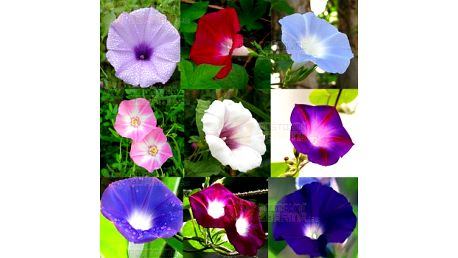 Petunie zahradní mix barev - 100 ks v balení a poštovné ZDARMA! - 25012854