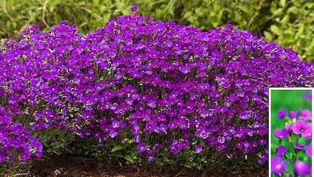 Aubrieta/ Tařička zahradní v květináčích