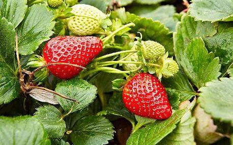 Stáleplodící jahody Ostara - 10ks sazenic