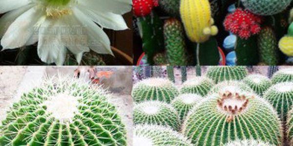 Semínka 10 ks kaktusů - různé druhy a poštovné ZDARMA! - 30014177