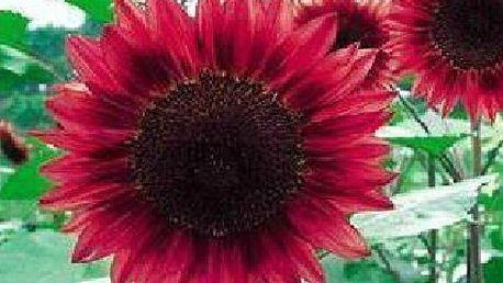 Rudá slunečnice - balení 20 semínek