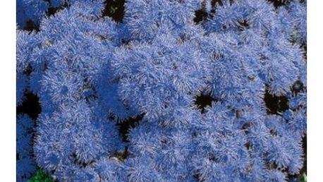 Nestařec mexický modrý - balení 400 semen - dodání do 2 dnů