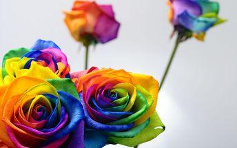 Duhové růže pro pěstování doma i venku, poštovné zdarma