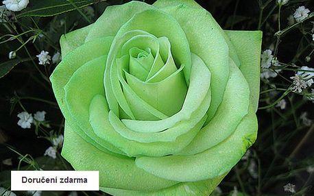200 ks semen zelené růže