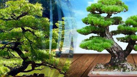 Japonská Pine tree bonsai: semeno k vypěstování jedné bonsaie (2 balení)!