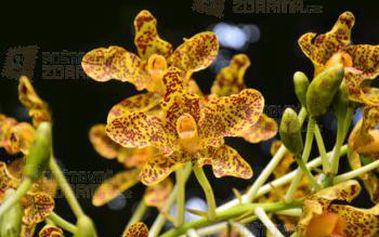 Angínovník čínský - 5 semen a poštovné ZDARMA s dodáním do 3 dnů! - 9999917248