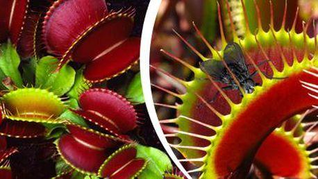 Mucholapka podivná: 20 ks semínek této populární masožravé rostliny!