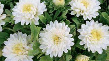 Astra čínská - Průhonický trpaslík bílý - 50 semen a poštovné ZDARMA s dodáním do 3 dnů! - 9999918626
