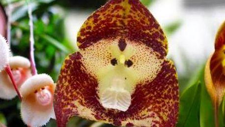 20 semínek orchideje s opičí tváří: originální květina do vaší zahrady.